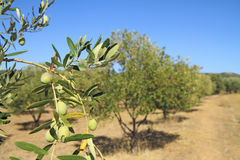 Olive grove in Greece. Olive grove in the greek countryside Royalty Free Stock Images