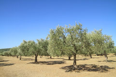 Olive grove in Greece. Olive grove in the greek countryside Royalty Free Stock Photo