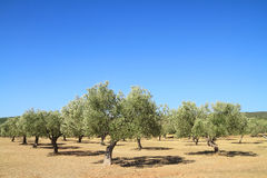 Olive grove in Greece. Olive grove in the greek countryside Stock Images