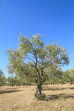 Olive grove in Greece Stock Photo