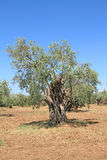 Olive grove in Greece Royalty Free Stock Photos