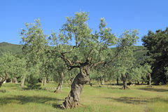 Olive grove in Greece Royalty Free Stock Photography