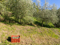 Olive grove harvest, autum 2015. Royalty Free Stock Photography