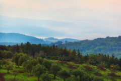 Olive grove on the hill at sunrise Stock Photo