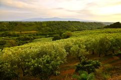 Olive Grove i Calabria, Italien Arkivfoton
