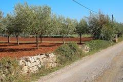 Olive Grove in Istria La Croazia Fotografia Stock