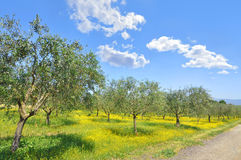 Olive grove in the Italian Tuscan countryside. Orchard of olive trees in Italy's beautiful region of Tuscany royalty free stock images