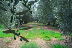 Olive grove in Italy Royalty Free Stock Photo