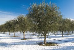 Olive grove in jenuary Royalty Free Stock Images