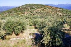 Olive grove in Kalamata, Greece royalty free stock image