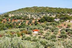 Olive grove in Kalamata, Greece stock photo
