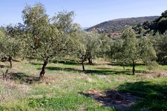 Olive grove in Kalamata, Greece stock images