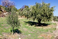 Olive grove in Kalamata, Peloponnese region, Greece. Koroneiki olives, olive grove in Kalamata, Peloponnese, Greece stock photography