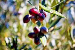 Olive grove in Kalamata, Peloponnese region stock image