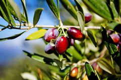 Olive grove in Kalamata, Peloponnese region stock photo