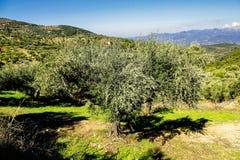Olive grove in Kalamata, Peloponnese region stock images