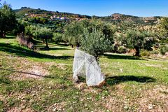 Olive grove in Kalamata, Peloponnese region. Olive grove in Kalamata, Peloponnese, southwestern Greece royalty free stock photography