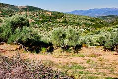 Olive grove in Kalamata, Peloponnese region. Olive grove in Kalamata, Peloponnese, southwestern Greece royalty free stock photos