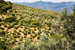 Olive grove in Kalamata, Peloponnese region. Olive grove in Kalamata, Peloponnese, southwestern Greece stock photography