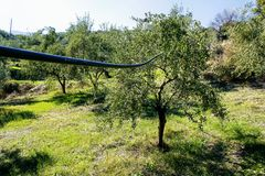 Olive grove in Kalamata, Peloponnese region stock photography