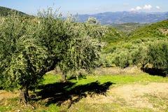 Olive grove in Kalamata, Peloponnese region stock photography