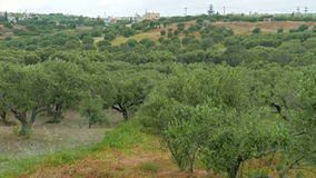 Olive Grove Kreta stock video