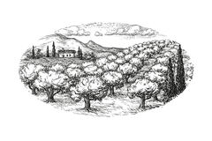 Olive grove landscape. Hand drawn olive grove landscape. Isolated on white background. Vintage style vector illustration Royalty Free Stock Image