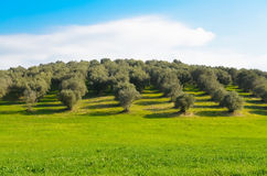 Olive grove in the Lazio countryside. View of an olive grove in the Lazio countryside in Italy Royalty Free Stock Photos