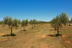 Olive grove in Mali Losinj, Croatia. Olive tree plantage on dry brown soil on a sunny day with clear blue sky in Mali Losinj island, Croatia Royalty Free Stock Images
