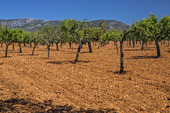 Olive Grove, Mallorca. Royalty Free Stock Photography