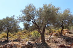 Olive Grove. A Mediterranean Olive tree grove with a blue sky background and a rocky orange soil foreground Stock Images