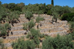 Olive grove, Meganissi Stock Images