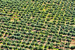 Olive grove in Mont-roig del Camp, Spain. Closeup of an olive grove in Mont-roig del Camp, Catalonia, Spain Stock Images