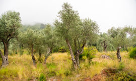 Olive grove in Montenegro Royalty Free Stock Images
