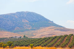 Olive grove on a mountain Stock Images