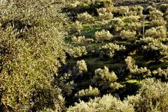 Olive grove in mountainous Messinia, Greece. Olive grove in mountainous Messinia, region of Peloponnese, Greece, southeastern Europe Royalty Free Stock Photo