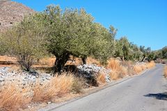 Olive grove in the mountains, Crete. Royalty Free Stock Images