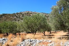 Olive grove in the mountains, Crete. Royalty Free Stock Photography