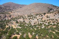 Olive grove in the mountains, Crete. Royalty Free Stock Image
