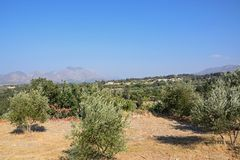 Olive grove in mountains, Crete. Royalty Free Stock Images