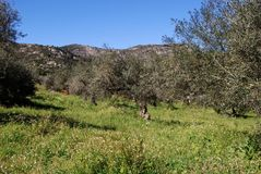 Olive grove in mountains, Marbella, Spain. View across the olive groves towards the mountains, Refugio de Juanar, Near Marbella, Costa del Sol, Malaga Province Royalty Free Stock Photos