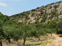 Olive Grove nära den Aposelemi klyftan på Kreta Arkivfoto