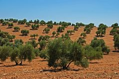 Olive grove, Near Bornos, Andalusia, Spain. Royalty Free Stock Image