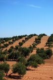 Olive grove, Near Bornos, Andalusia, Spain. Olive grove with red soil on a sloping hill, Near Bornos, Cadiz Province, Andalusia, Spain, Western Europe Royalty Free Stock Image