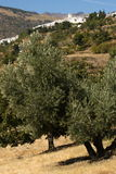 Olive grove near Capileira in Alpujarras Royalty Free Stock Photos