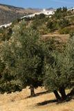Olive grove near Capileira in Alpujarras Royalty Free Stock Photos