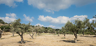 Olive grove. Near hills of Jerusalem Stock Image