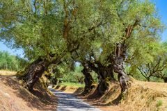 The olive grove. The old olive tree grove of the Zakynthos island , Greece stock image