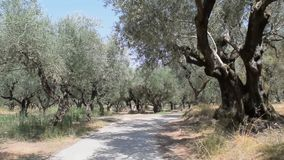 The olive grove. The old olive tree grove of the Zakynthos island, Greece stock video