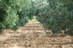 Olive Grove - Perspectief royalty-vrije stock afbeeldingen